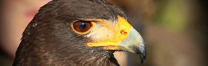 Verband deutscher Falkner - Harris Hawk